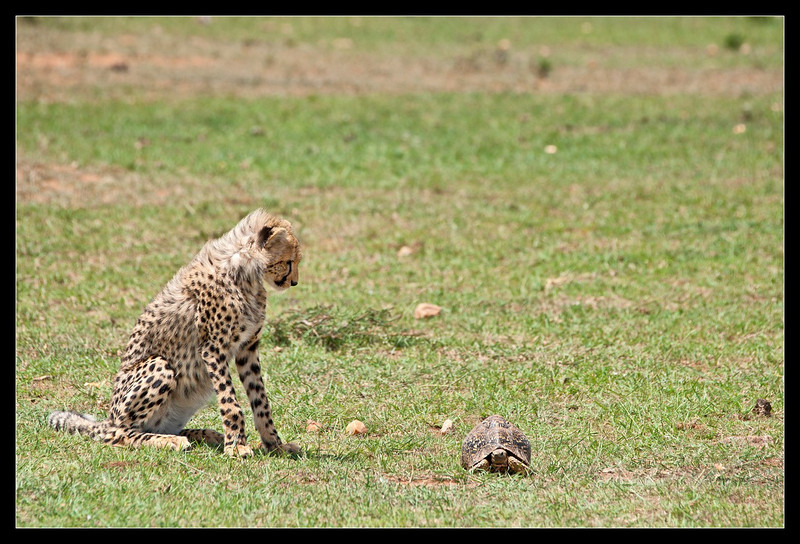 Cheetah (cub) and Leopard (tortoise), Ol Pejeta Conservancy, Kenya 2011