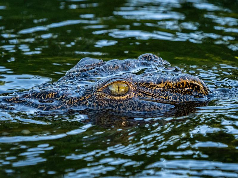 The African crocodile will eat almost anything.