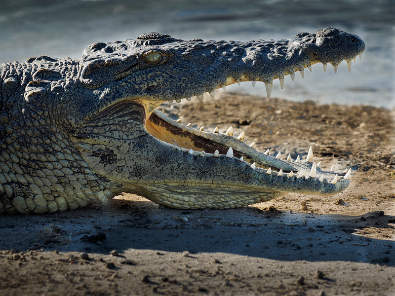 While as well known as the other African animals, the crocodile is not especially loved, but rather feared.