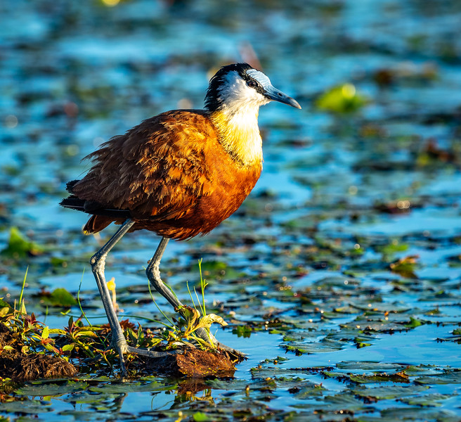 This colorful bird often appears to walk on water, thus its nick name--the Jesus Bird, or the  African Jicana.