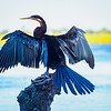 An African Darter dries its wings in the sunlight.