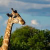 The Giraffe's tongue is shaped so it can eat thorns from trees without getting injured.