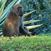 The Victoria Falls Hotel takes extraordinary precautions to protect the safety of its guests.  It is located next to a national park, and many of the animals find their way onto the hotel grounds, including this baboon...