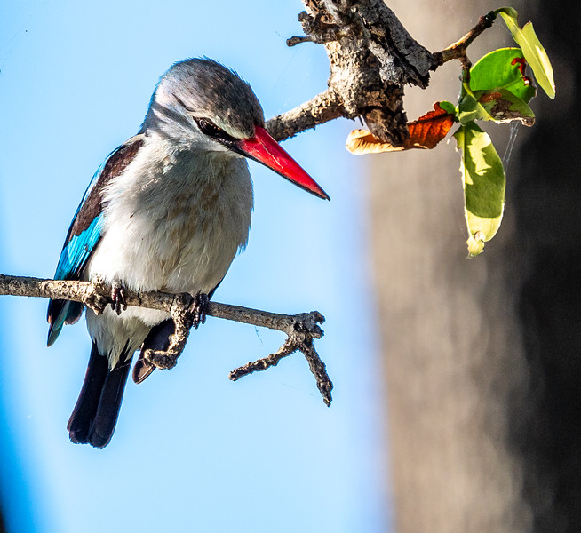 Our excursions on the river were in specially designed boats for photographers.  The seats were like a barber's chair and swiveled 360 degrees!  This made it easier to spot and track the hundreds of birds and other  species making their homes on the swollen banks of the river.  This is a Woodland Kingfisher.