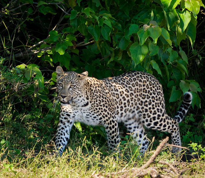 It was quite rare, but we saw leopards on the hunt 2 times on one of our days on the Chobe.  The leopards tried to catch a monitor and an impala.  They failed both times.  But we had eyewitness seats to an event that locals claim they had never seen.
