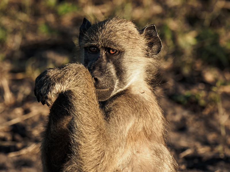 There are many varieties of baboons in Africa....this one is a Charma Baboon.  Either he is playing coy, or he is about to land a left jab to my face!