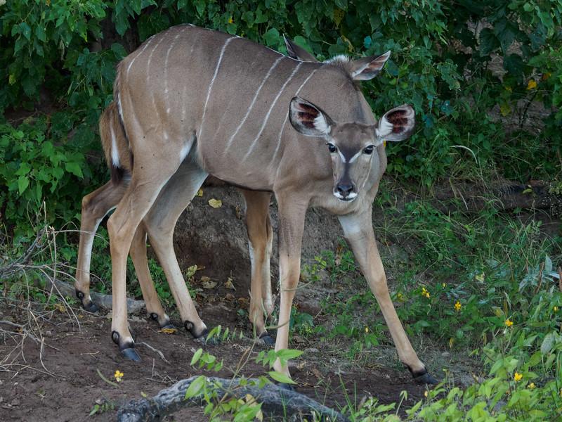 The Greater Kudu (female)