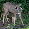 The Greater Kudu (female)