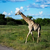 The Giraffe appears to move in slow motion, but it moves a lot faster and further than you think.