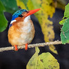 This Malachite Kingfisher is very small and was difficult to see.