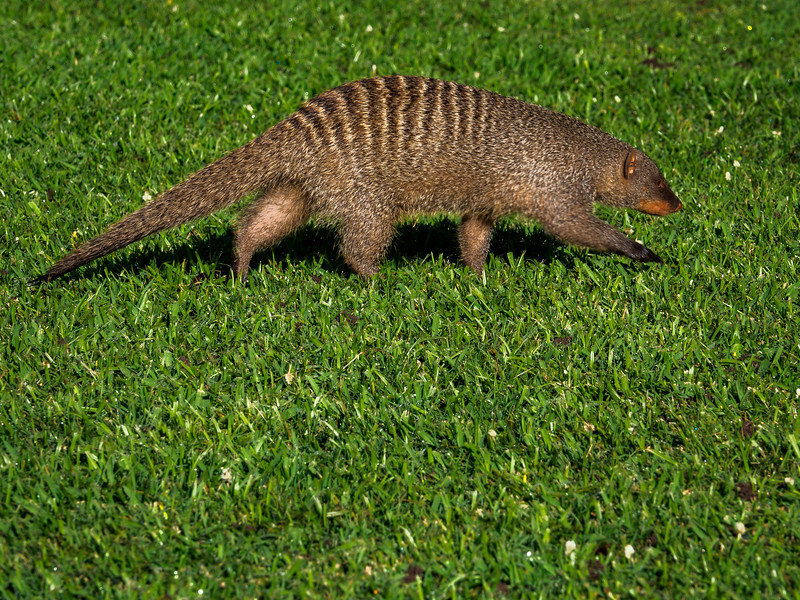...and this banded mongoose
