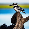 Kingfishers come in many varieties--this is a Pied Kingfisher.
