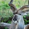 The Greater Kudu (male)
