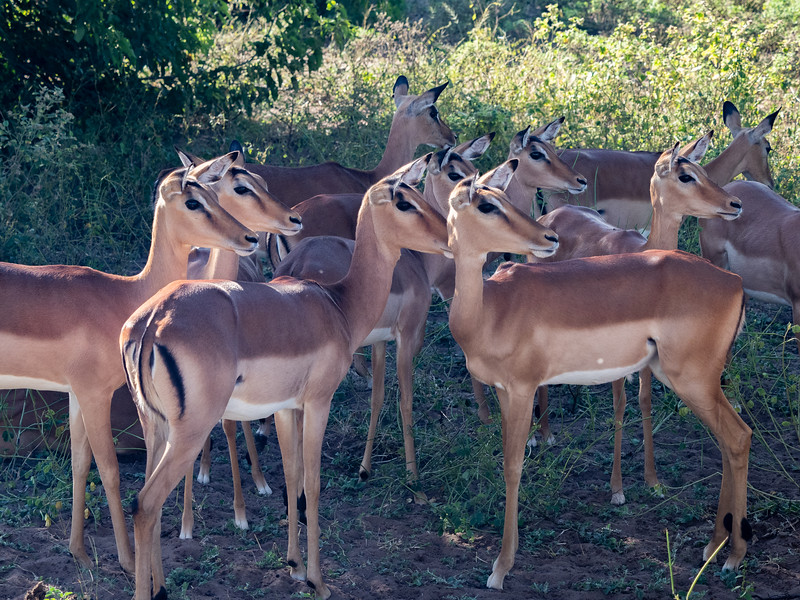 Part of a large herd of Springbok reacting to a noise or smell...could it be a leopard?
