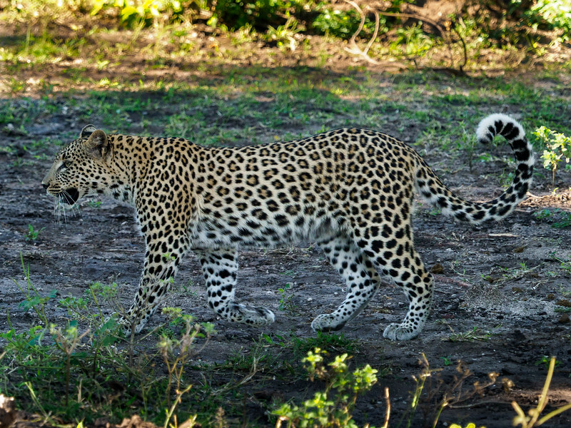 According to our guide, if the leopard walks with its tail high in the air,, it is signaling that it is passing in peace.
