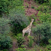 Once again, the helicopter provided a different perspective for viewing the park and some its animals, such as elephants, the giraffe in this photo,