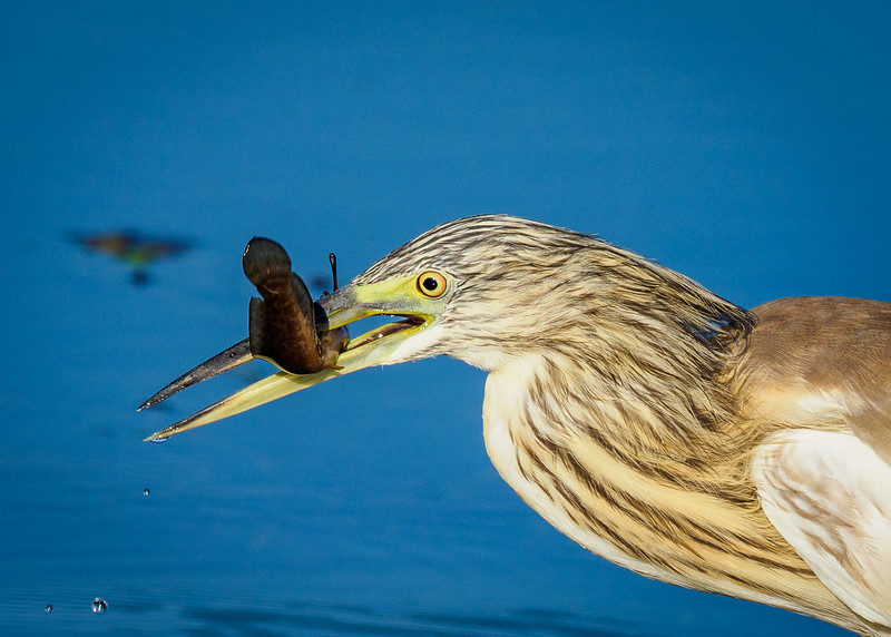 The Squacco Heron's patience and stealth approach paid off, as the bird heads to the shoreline to devour  the fish it caught.