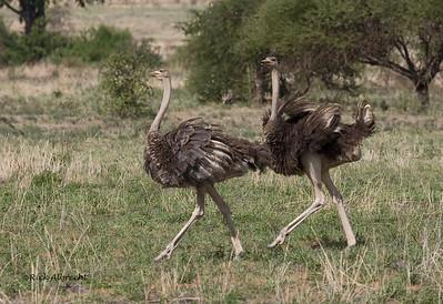 06-OX0071 Ostrich-Female
