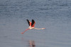 A pink flamingo gets airborne at Walvis Bay, Namibia