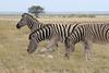 How many zebras am I holding up? Quick, count the stripes!   (Etosha Pan, Namibia)