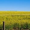"""The yellow of the canola crop up close. SEE ALSO:  <a href=""""http://www.blurb.com/b/685976-africa"""">http://www.blurb.com/b/685976-africa</a>"""
