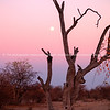Sunset in bush Botswana.