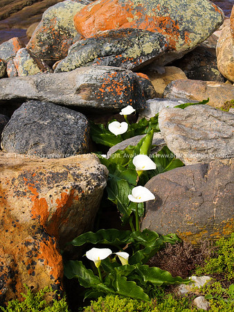 Coastal South Africa, lillies amongst the coastal rocks. SEE ALSO: www.blurb.com/b/685976-africa