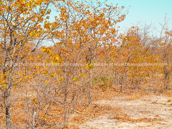 Golden leaves on trees and dry ground of African bush.