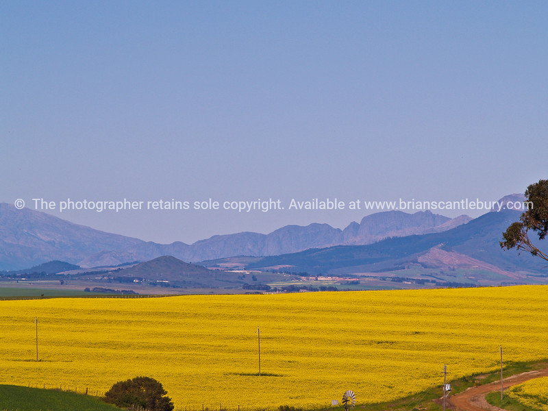 """Expansive colourful landscape outside of Cape Town. Canola crop in foreground. SEE ALSO:  <a href=""""http://www.blurb.com/b/685976-africa"""">http://www.blurb.com/b/685976-africa</a>"""