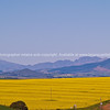 "Expansive colourful landscape outside of Cape Town. Canola crop in foreground. SEE ALSO:  <a href=""http://www.blurb.com/b/685976-africa"">http://www.blurb.com/b/685976-africa</a>"