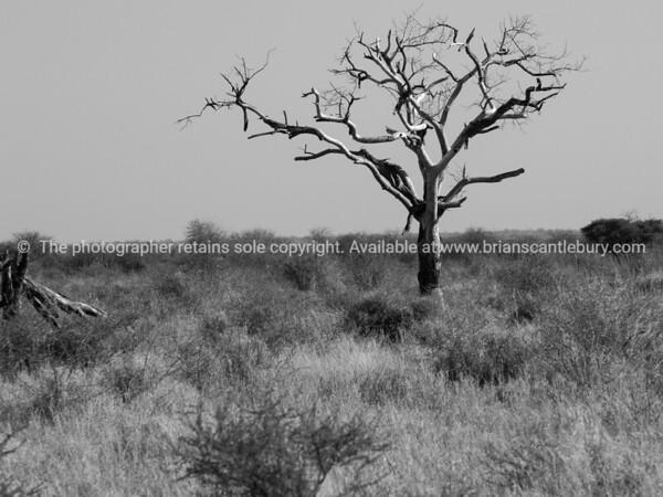 One  dead tree in wide African landscape.