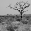 One  dead tree in wide African landscape.