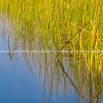 Environmental bright greens of swamp reeds against clear blue water
