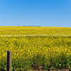 Canola field South Africa.