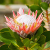 Beautiful king protea flower