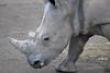 white rhinos, lake nakuru