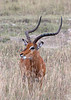 male impala, lake nakuru