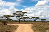 acacia tree on cross road in serengeti