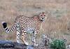 look back, cheetah in maasai mara
