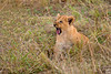 cute lion cub, maasai mara