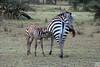 Grevy's Zebra, lake nakuru
