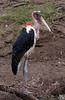 Marabou Storks, lake nakuru