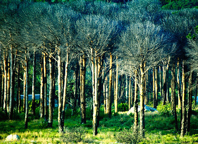 Trees at Table Mountain #2_0597B-2