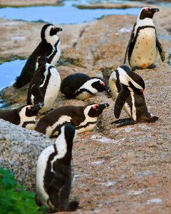 African Jackass Penguins #2_0759C-2