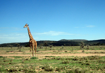 Lone giraffe in the Masai Mara, Kenya