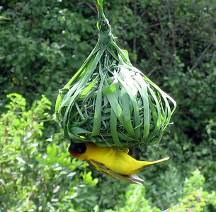 Weaver bird, Tanzania