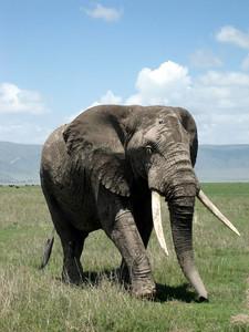 BIg 5: Elephant in Ngorongoro crater, Tanzania