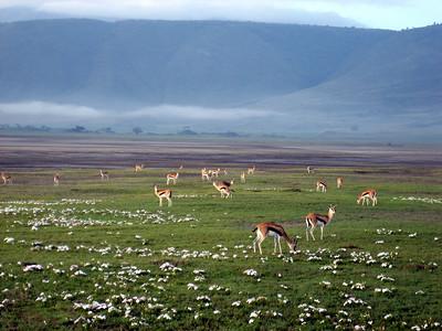 Gazelles in Ngorongoro crater, Tanzania