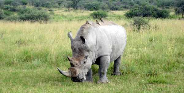 "Big 5: ""White"" Rhinoceros at a rhino sanctuary, Botswana"