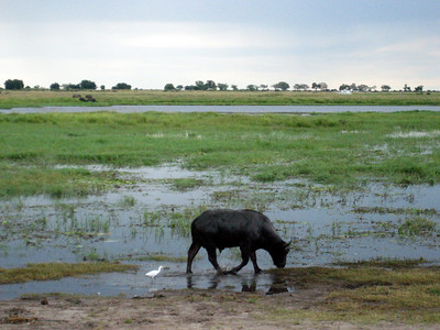 Big 5: Water buffalo at Chobe National Park, Botswana
